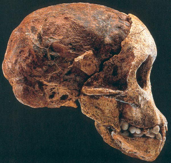 Los Angeles University >> Skulls and cranial casts of the Homininae