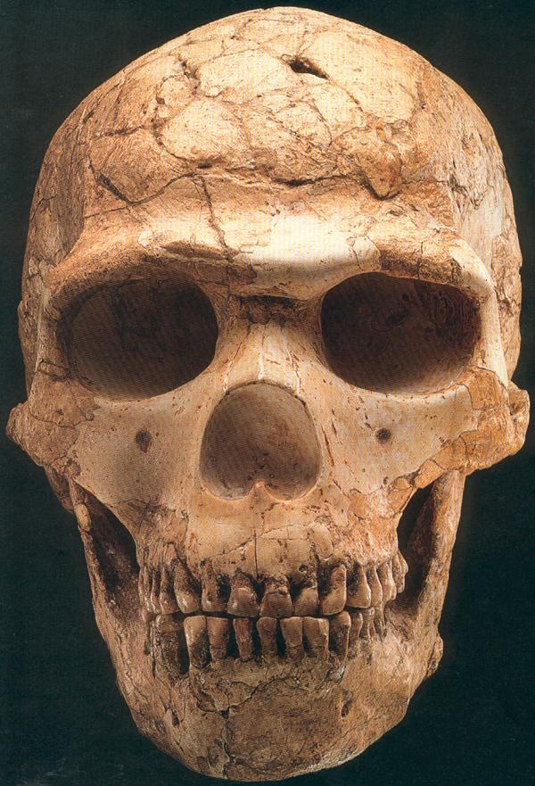 Chimpanzee Taxonomy Skulls and cranial cas...